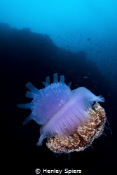 Crown Jellyfish by Henley Spiers